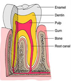 cutaway photo of a tooth